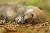 Baby Wolf taking a nap.