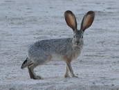 The Black-tailed Jackrabbit