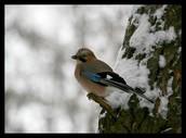 Сойка в зимнем лесу