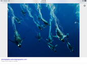 Penguins diving:section sleek sliding