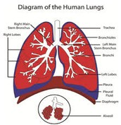 Lung as a whole