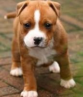 Stafford-shire Bull Terrier