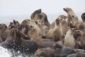 Sea lions in a group