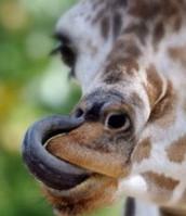 The morrafe's tongue!