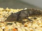 Muttled Brown Axolotl