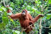 Orangutans need you