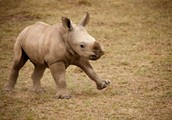why is the white rhino endangered?
