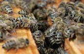 If the honeybee population becomes extinct.