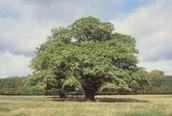 state tree bur oak