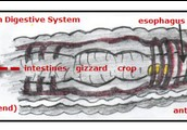 The Earthworm's Digestive System