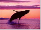 Blue whale jumping out of water at sunset