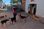 San Pedro de Atacama Dogs