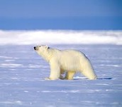 Polar bear on the Arctic Ocean