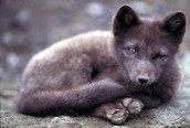 the arctic fox in the spring