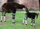 Newborn Okapi