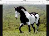 The strip horse