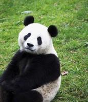 Panda habitat