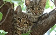 Bobcats Endangered