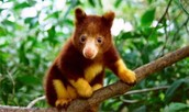 Tree Kangroo