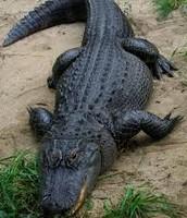 Alligator(Land)