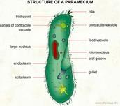 Parts of Paramecium