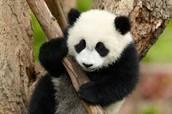 Background information on Giant Panda's
