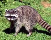 Ringtail Raccoon