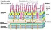 Estructura general de una bacteria