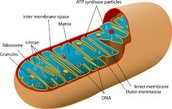 The Epic super Awesome Mitochondria