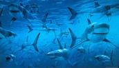 Group of sharks