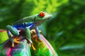 Red- Eyed Tree Frog
