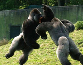Two gorilla males fighting over territory