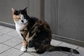 Are there male calico cats?
