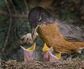Mother Feeding Worms