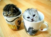 kitten coffee mugs