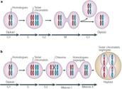 Meiosis vs. Mitosis