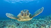 Swimming with the Sea...Turtles