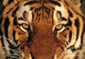 Tiger's Impact