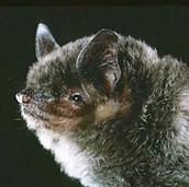 Gray bats are restricted to cave or cave like- habitats