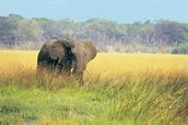 A elephant roaming this savanna in Africa