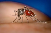 Mosquito Carrying The Dengue Virus