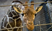Marius The 2 Year Old Giraffe