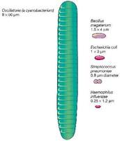 Tamaño de las bacterias