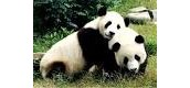 ADULT PANDAS IN THE WILD