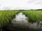 wild rice habitat