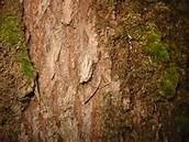BigLeaf Maple Bark