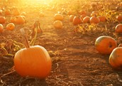 Pumpkins are Coming!!!