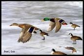 About Mallard Migration
