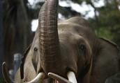 Elephant tusks and ivory.