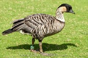 The beautiful Nene bird